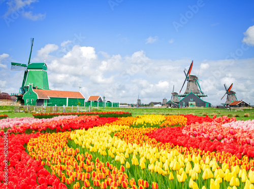 dutch windmills with fresh tulips rows at bright spring day, Holland