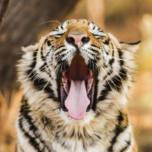 Close Up Of Tiger Yawning