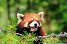 Close-Up Of A Red Panda Looking Away