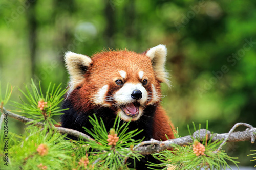 Close-Up Of A Red Panda Looking Away Canvas Print