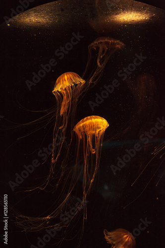Japanese sea nettle Jellyfish, Chrysaora pacifica, can range in color from gold to red. Their dark stripes extend from the top to the bottom of the bell.