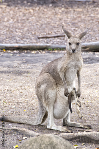 Staande foto Kangoeroe Eastern Grey Kangaroo with joey