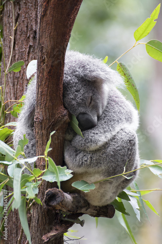 In de dag Koala Koala sleeping in tree