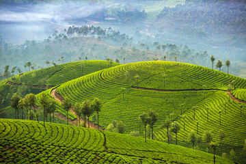 FototapetaTea plantations in Munnar, Kerala, India