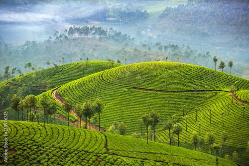 Fotomural Tea plantations in Munnar, Kerala, India