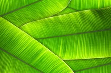 The Leaves Of The Banana Tree ...