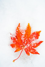 Red Maple Leaf On A White Snow In Winter Season, Autumn Maple Leaf In The Snowy Day For Background