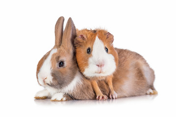 Funny guinea pig with little rabbit isolated on white