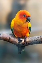 A Brightly Colored Parrot (sun Conure) Sitting On A Branch