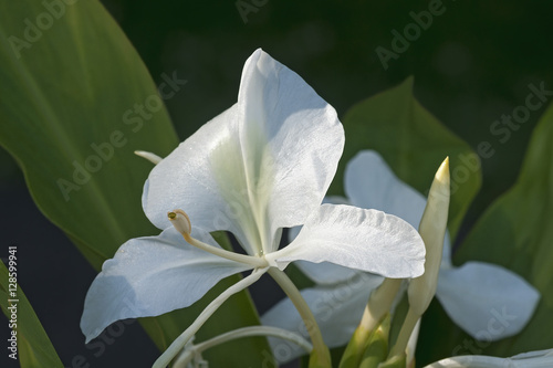 White ginger lily flowers buy this stock photo and explore similar white ginger lily flowers mightylinksfo