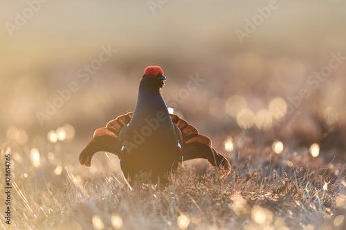 Stampa su Tela Black grouse gorgeous pose. Black grouse playing.