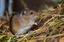 Striped Field Mouse Posing In Hay