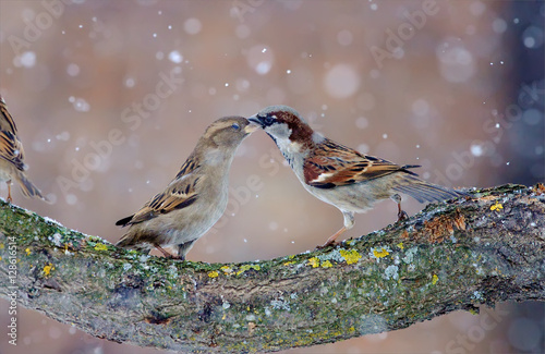 Fotomural House sparrows dancing in blizzard