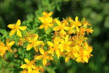 Yellow St. John's Wort