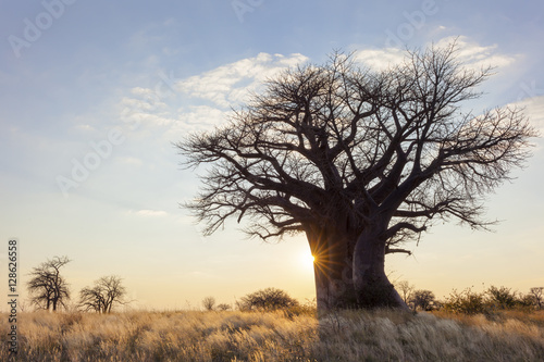 Sun starburst at baobab tree