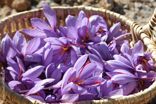 Flores de azafrán en una cesta de mimbre