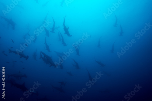 Cocos island hammerhead sharks Wallpaper Mural