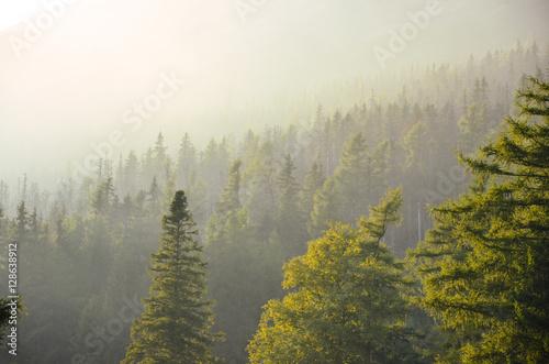 Fototapeta Beautiful warm soft light of the summer evening in misty forest. High Tatras, Slovakia