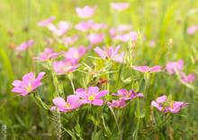Meadow Pink, Sabatia Campestri...
