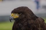 Fototapeta Zwierzęta - Eagle