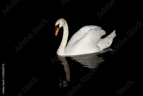 Poster Cygne Lonely swan swimming in the night