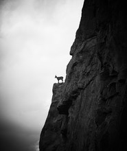 Mountain Goat Standing On The Rock, Black And White