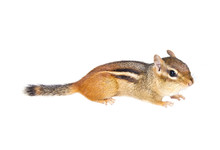 Chipmunk On A White Background