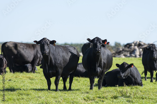 Black Angus Cows and calves on a Minnesota Farm Canvas Print