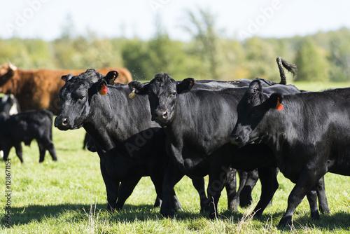 Photo Black Angus Cows and calves on a Minnesota Farm