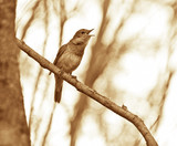 Singing nightingale on a branch. Picture tinted in sepia. - 128682781