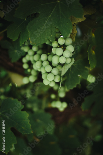 Papiers peints Vin White wine is made from northern Portugal's green grapes.