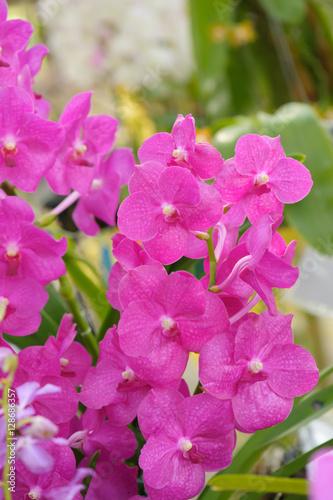 Staande foto Roze Beautiful Orchid Flower in the orchid garden, ChiangmaiThailand