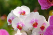 Beautiful Orchid Flower in the orchid garden, ChiangmaiThailand