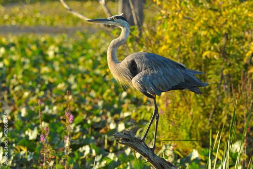 Valokuva  Blue Heron