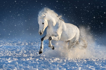 White horse run gallop in winter snow field