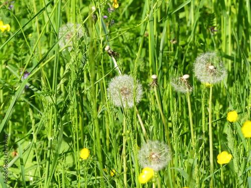 Fotografie, Obraz  pretty dandelions