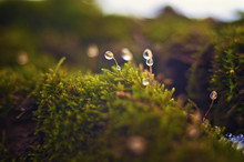 Drops Of Dew On The Moss