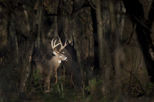 A Large Whitetail Deer Buck Stands In A Spotlight Of Sun In The Woods Early One Morning.