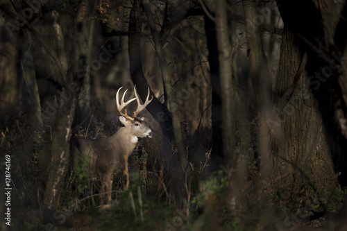 Photo  A large Whitetail Deer buck stands in a spotlight of sun in the woods early one morning