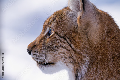 Foto op Plexiglas Lynx Detailed profile of head of lynx