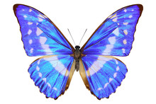 Colombian Shiney Blue Morpho B...