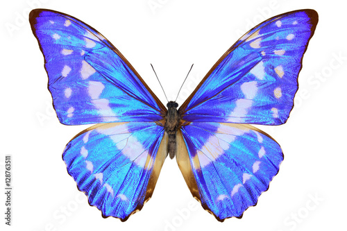 Valokuva  Colombian shiney blue morpho butterfly (Morpho cypris, upside, male) with a meta