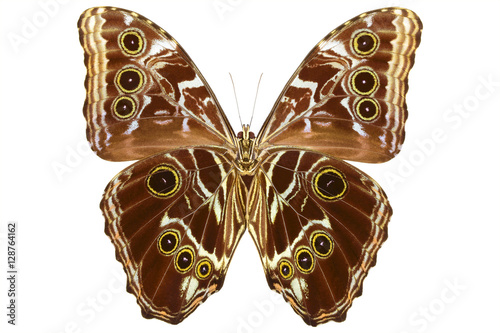 Valokuvatapetti Peruvian Morpho butterfly (Morpho deidamia, male, underside) isolated on white b