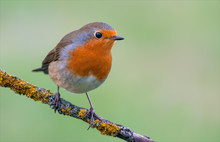 European Robin Posing On A Lic...
