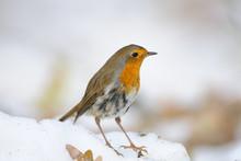 Wintering Robin