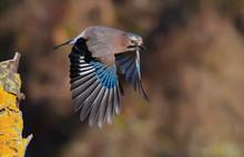 Eurasian Jay Take Off