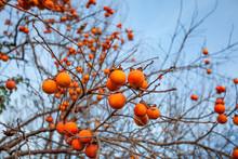 Ripe Persimmon On A Tree In Winter