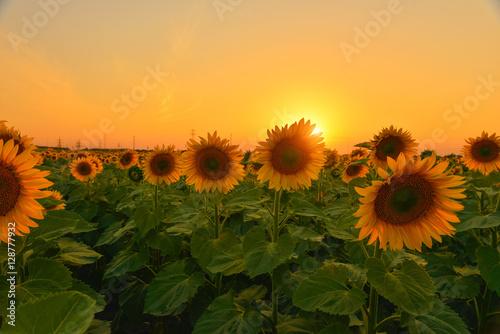 Garden Poster Light pink Sunflowers