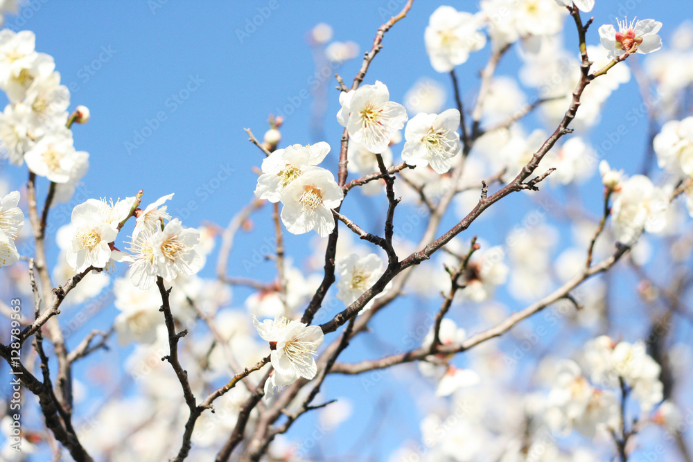Photo  White cherry blossom