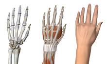 Three Anatomical Dorsal Views Of Female Hand